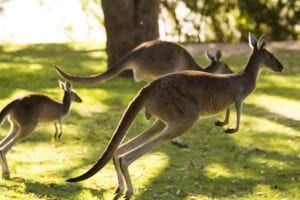 Kangaroos at the golf course - window cleaning Karrinyup